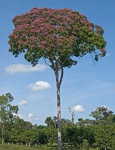Cumaru (Brazilian tree)