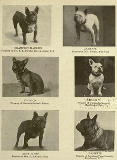 1905 French Bulldogs CH 'Maurice', 'Lugenie', CH 'Rico', [illegible], 'Angie Pitou', and 'Grisette'.