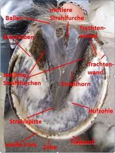 Picture of the Hoof Teaching: Pferdehuf from below Bild der Huflehre: Pferdehuf von unten - Art Of Equitation Paint Horse, Horse Riding Tips, Horse Care Tips, Horse Facts, All About Horses, True Friends, Show Horses, My Animal, Animals And Pets