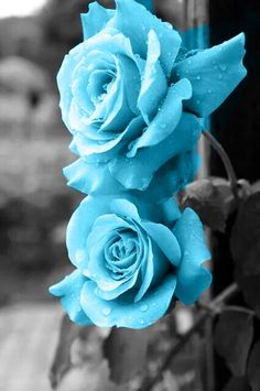 Beautiful Flowers Pictures, Beautiful Flowers Wallpapers, Beautiful Rose Flowers, Amazing Flowers, Blue Roses Wallpaper, Flower Phone Wallpaper, Flower Images, Flower Pictures, Tiffany Blue Wallpapers