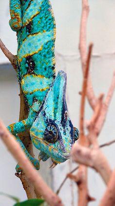 Male Veiled Chameleon (Chamaeleo calyptratus) - photo by Matt Reinbold (Furryscaly), via Flickr;   at the National Zoo in Washington, D.C.