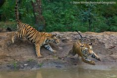 Two tigress cubs playing at a waterhole in Bandhavgarh National Park, India. Only 100 yrs ago, more than 100,000 wild tigers flourished in Asia. Today, less than 3,200 tigers remain. But Panthera knows what it takes to save this species. Our Tigers Forever program aims to increase tiger numbers by 50% in key sites over a 10 yr period. Learn more about Tigers Forever @ http://www.panthera.org/programs/tiger/tigers-forever