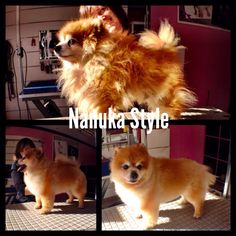 """En nuestra peluquería """"casi todo"""" tiene solución. Hacemos lo posible por salvar la estética y poner a los perros bien guapos."""