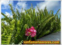 Boston Ferns - Santa Maria Açores