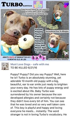 SAFE❤️❤️ 6/21/16 Manhattan Center My name is TURBO. My Animal ID # is A1077111. I am a male br brindle am pit bull ter mix. The shelter thinks I am about 10 MONTHS old. I came in the shelter as a OWNER SUR on 06/11/2016 from NY 10027, owner surrender reason stated was ALLERGIES. http://nycdogs.urgentpodr.org/2016/06/turbo-a1077111/