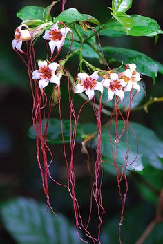 Strophanthus preussii [Corkscrew Flower, Poison Arrow Vine, Spider Tresses, Tassel Vine] Apocynaceae by tuis, via Flickr