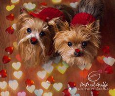 Valentine dogs #YorkshireTerrier