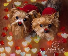 Valentine dogs #YorkshireTerrier