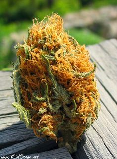 Official Gold Bud http://www.kidocean.net Click Image for the hottest beats on the net. When you are ready to crush these amazing buds >>>>> http://www.zipgrinders.com/?utm_source=pinterest&utm_medium=pin&utm_content=MTB%20pin&utm_campaign=marijuana%20the%20-beautiful
