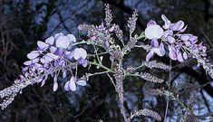 Au Québec, 3 espèces semblent bien performer, il s'agit de la Glycine du Japon (Wisteria floribunda), de la Glycine du Kentucky (Wisteria macrostachya) et de la Glycine américaine (Wisteria frutescens). Au Jardin de Jean-Pierre, la Glycine du Japon 'Lawrence' fleurit de temps en temps alors que la Glycine du Kentucky 'Blue Moon' fleurit à chaque année. Horticulture, Wisteria, Blue Moon, Dandelion, Comme, Kentucky, Flowers, Bbq, Roses