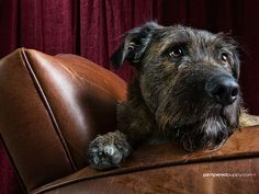 Irish wolfhound on chair | Doggy Desktops