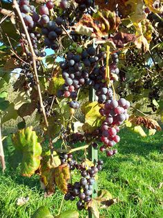 Whizbang Trellis Instruction: A New IdeaFor Growing Grapes