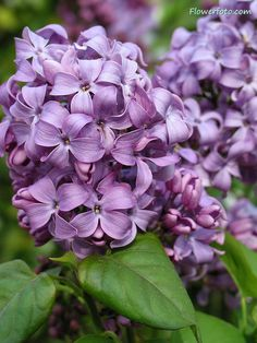 lilac flower....smells amazing!