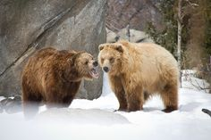 grizzly love.