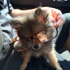 Sophisticated pomeranian