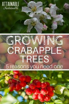 """Crab apples are a great addition to small gardens and orchards. Consider adding a crabapple tree to your """"must plant"""" list -- they're pretty, they are great for improving pollination in your orchard, and they taste great. Fruit Garden, Garden Trees, Edible Garden, Lawn And Garden, Garden Paths, Organic Gardening, Gardening Tips, Growing Fruit Trees, Permaculture"""