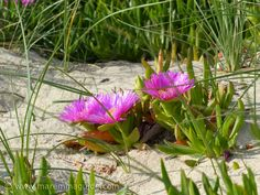 Torre Mozza beach in Maremma in April: the dunes are covered in a stunning bright green and pink carpet of the flowers of the succulent plant Carpobrotus acinaciformis.