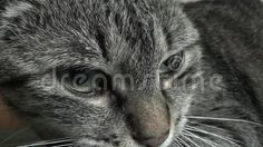 Video about Cat - Tiger. The video is displayed cat with details on her eyes. The cat is very calm and view potential sites where bite cameraman. Video of view, where, potential - 74012384 Tiger Video, Image Cat, Cats, Animals, Videos, Gatos, Animales, Kitty Cats, Animaux