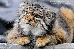 Shared by Manul Cat, The Most Expressive Cat In The World Small Wild Cats, Small Cat, Rare Cats, Cats And Kittens, Beautiful Cats, Animals Beautiful, Felis Manul, Grand Chat, Animals And Pets