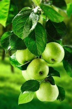 chasingrainbowsforever: Granny Smith Apples on the Tree