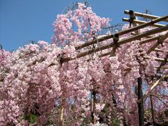 Heian Shrine shidarezakura
