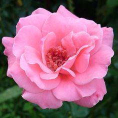 """守谷の庭から Ibaraki Japan on Instagram: """"Queen Elizabeth🌹🌿 ・ ・ #queenelizabeth #queenelizabethrose #クイーンエリザベス #クイーンエリザベスローズ #instaroses #instaroselovers #roses #roselovers…"""" Queen Elizabeth Rose, Flowers, Plants, Instagram, Plant, Royal Icing Flowers, Flower, Florals, Floral"""