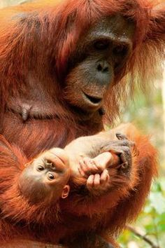 Borneo orangutan with baby in Tanjung Puting National Park