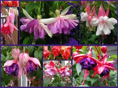 Some of my Fuchsias | Flickr - Photo Sharing!