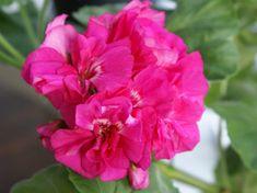 Kuvahaun tulos haulle pelargonium lara delight