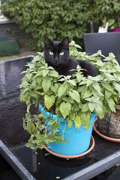 Mikki sitting in Catnip #cat kitty black garden cute