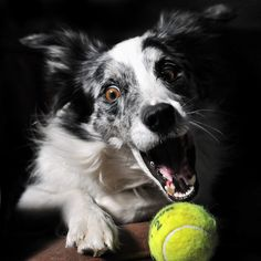 Now that's a ball-crazy dog! Cute Baby Puppies, Dogs And Puppies, Doggies, Blue Merle, Mastador Dog, Koolie Dog, Schnoodle Dog, Kangal Dog, Dog Accesories
