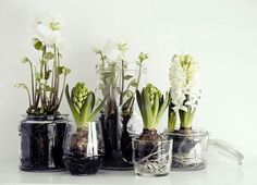 Spring decor with mini onion flower garden in a glass jar - cool-floral-decoration-white-with-onion-flowers-in-jars - Onion Flower, Christmas Flowers, Winter Flowers, Spring Flowers, Winter Plants, Winter Garden, Spring Bulbs, Deco Floral, Weekend Projects