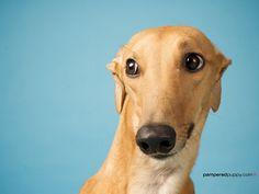 Sandy greyhound