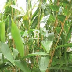 Bambou Traçant Indocalamus tessellatus