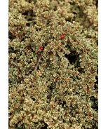 Variegated Rock Cotoneaster (Cotoneaster horizontalis 'Variegatus') - Monrovia - Variegated Rock Cotoneaster (Cotoneaster horizontalis 'Variegatus')