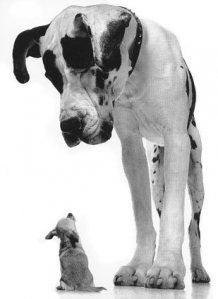adorable, great dane and chihuahua. This will be in our lives one of these days.