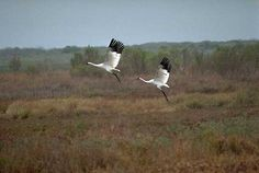 the Whooping Crane is endangered Crane Dance, Saskatchewan Canada, Endangered Species, Beautiful Birds, Habitats, Wildlife, Animals, Birds, Animales