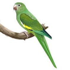 White-winged Parakeet Body Illustration. Saw mine in West Hollywood, a little farther south than usually found, but Los Angeles has that effect on many species, as it has many resources and limited predators.