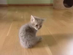 Meowing Munchkin Kitten - Some real funny stuff here. Cute Kittens, Cats And Kittens, Cute Funny Animals, Cute Baby Animals, Animals And Pets, I Love Cats, Crazy Cats, Beautiful Cats, Animals Beautiful