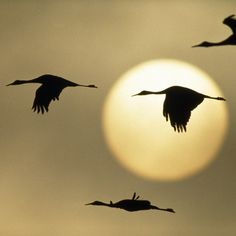 CRANES ...We live in a migration path and I can hear them when they fly over...I always go outside to see them and hear their yodeling.