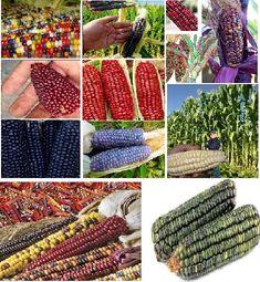 Unusual Varieties of Corn