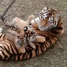 Tiger and cubs - big cat Cute Little Animals, Cute Funny Animals, Nature Animals, Animals And Pets, Wild Animals, Beautiful Cats, Animals Beautiful, Tiger Video, Cute Tigers