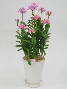Pot Plants -All Season of Bloom Japan Network Co. Unique Plants, All Plants, Potted Plants, House Plants, Orchids Garden, Orchid Plants, Orchid Flowers, Mini Orquideas, Ground Orchids
