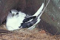 El rabijunco común (Phaethon lepturus) es una especie de ave fetontiforme,1 2 oceánica tropical, adaptada para largas travesías. Anida en lugares aislados esparcidos en islas tropicales del mundo. En Cuba se conoce también como contramaestre.