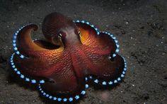 Luminescent Octopus