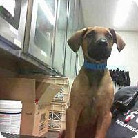 Great Dane Mix Puppy for adoption in Grand Prairie, Texas - MARLEY