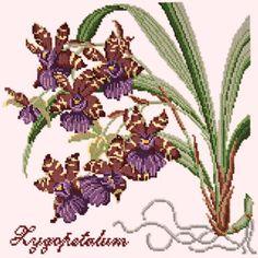 Zygopetalum