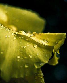 Dew on yellow