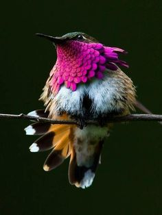 The Wine-Throated Hummingbird (Atthis ellioti) is a species of hummingbird in the Trochilidae family. It is found in El Salvador, Guatemala, Honduras, and Mexico. Its natural habitats are subtropical or tropical moist montane forests. With a length of 7 cm, it is one of the smallest birds within its range.  http://en.wikipedia.org/wiki/Wine-throated_Hummingbird