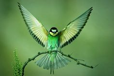 beautiful hummingbird with wings open